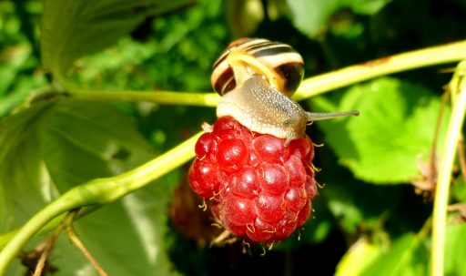 raspberries_snail_berry_close_up-1920x1080