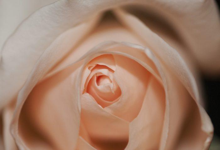 rose_bud_petals_close_up-1920x1080