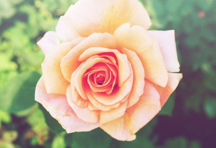 rose_flower_bud_petals-1920x1080