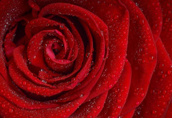 rose_flower_petals_bud_drops-1920x1080