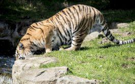 tiger_predator_river_thirst-1920x1080