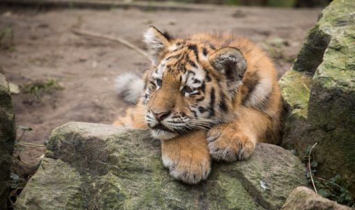 amur_tiger_cub_lies_predator_rocks-1920x1080