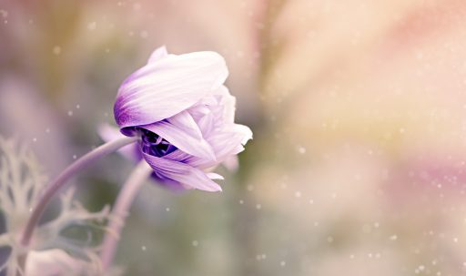 anemonastrum_anemone_flower_bud_blur-1920x1080