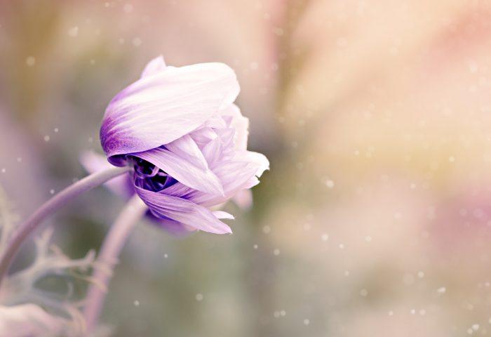 anemonastrum_anemone_flower_bud_blur-1920x1080