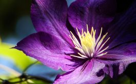 clematis_flowers_buds_petals-1920x1080