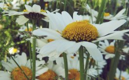daisies_flower_field_summer-1920x1080