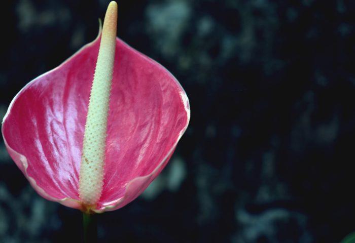 flower_pink_bud-1920x1080