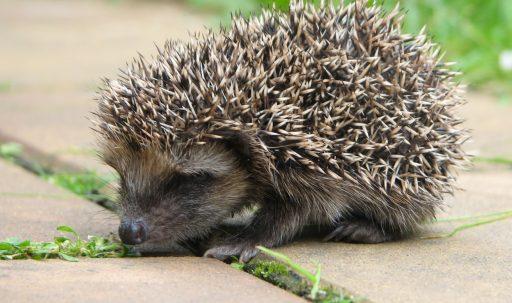 hedgehog_spiny_animal-1920x1080