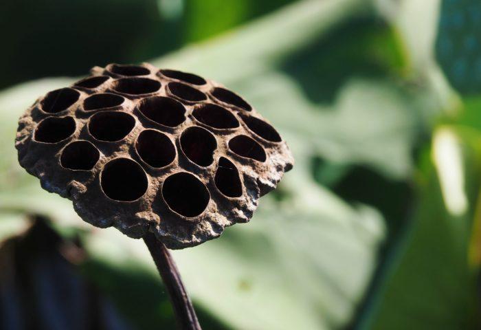 lotus_dry_flower_bud-1920x1080