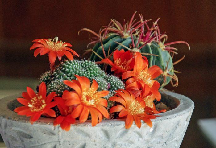 mammillaria_succulents_cactus_houseplant-1920x1080