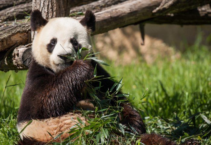 panda_bear_bamboo_grass-1920x1080