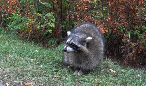 raccoon_forest_grass_walk-1920x1080
