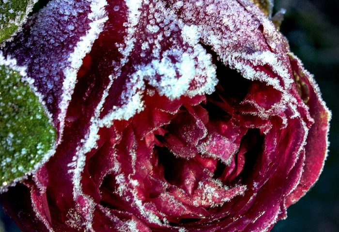 rose_bud_close_up_frost_snow-1920x1080