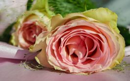 rose_bud_petals_pink-1920x1080