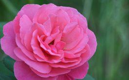 rose_bud_pink_petals-1920x1080