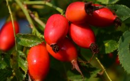 rosehips_berries_branch-1920x1080