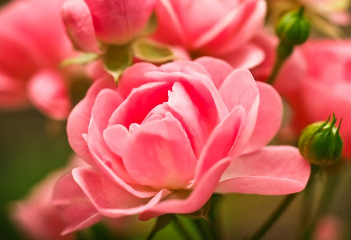 roses_flowers_buds_pink-1920x1080
