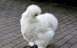 silkie_chicken_feathers-1920x1080