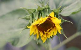 sunflower_petals_bud_blur-1920x1080
