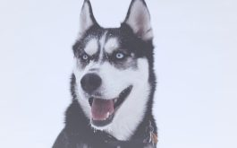 husky_dog_muzzle_blue_eyed-1920x1080