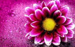 pink_flower_4k-1920x1080